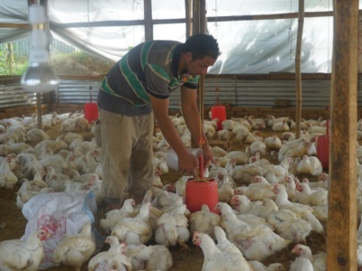Chicken farm is grow form 200 chicken to 1500 (4)